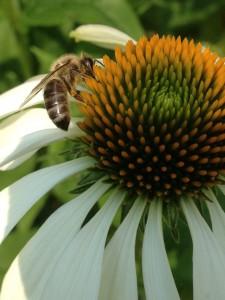 Biene beim sammeln von Nektar für unseren Honig