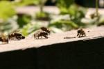 Nahaufnahme meiner Bienen