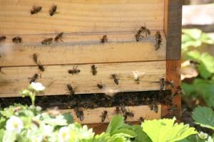 Eingang des Bienenstockes