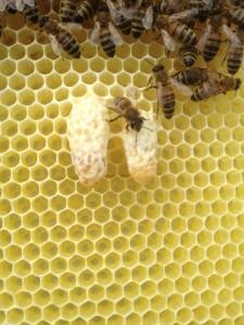 Bienenwabe mit zwei Weiselzellen
