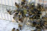 Die Bienen kommen vom Pollen sammeln zurück.