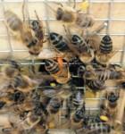 Rückkehr der Bienen nach dem Pollen sammeln