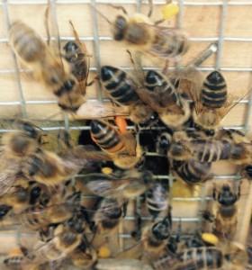 Rückkehr der Bienen nach dem Pollen sammeln im Ruhrgebiet
